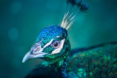 Peacock portrait. Portrait of Green Peafowl, wild peacock in thailand Royalty Free Stock Images
