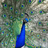 Peacock portrait Royalty Free Stock Photos