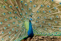Peacock. Portrait of male peacock displaying his tail feathers. Stock Images