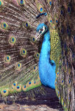 Peacock Portrait (Pavo cristatus) Stock Photo