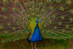 Peacock portrait with plumage Stock Image