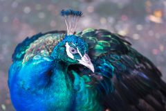 Peacock portrait. Portrait of Green Peafowl, wild peacock in thailand Royalty Free Stock Photo