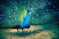 Peacock portrait standing in full splendor stock images