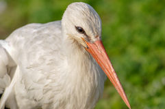 Peacock. Portrait of a white stork, close-up Stock Photos