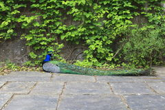 Peacock at Powis Castle. Peacock resting on stone slabs at Powis Castle Royalty Free Stock Photography