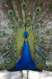 Peacock Presenting 3. A male peafowl (peacock) displaying it's plumage Royalty Free Stock Images