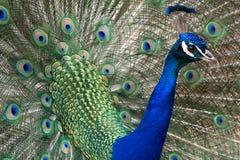 Peacock. Presents his beautiful wheel stock photos