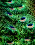Peacock Pride Royalty Free Stock Photos