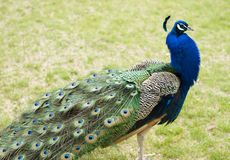 Peacock profile Royalty Free Stock Photography