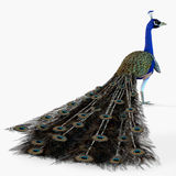 Peacock Profile Stock Image