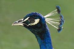Peacock profile Stock Photography