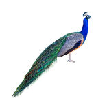Peacock profile cutout Royalty Free Stock Photo