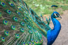 Peacock in profile royalty free stock image