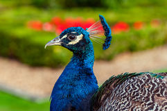 Peacock profile view close up image garden background Stock Photo