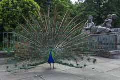 A peacock puts on a colourful display at Lazienki Park in Warsaw in Poland. A peacock puts on a colourful display in front of a statue at Lazienki Park in Stock Photography