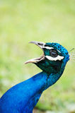Peacock raging Stock Photos
