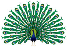 Peacock raise his feathers in