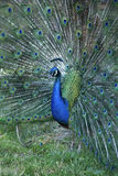Peacock with raised feathers Stock Images
