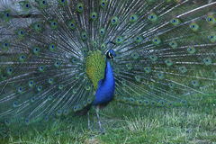 Peacock with raised feathers Stock Photography