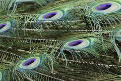 Peacock rear feather Royalty Free Stock Photography