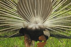 Peacock Rear View Royalty Free Stock Photo