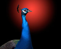 The peacock on red black background. Stock Photography