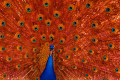 Peacock with red feather display. Peacock with beautiful feather display. Blue peacock body and red and blue feathers of wild bird Stock Photography