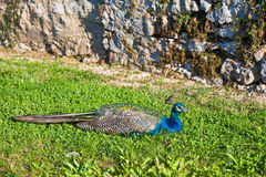 Peacock Resting Royalty Free Stock Photography