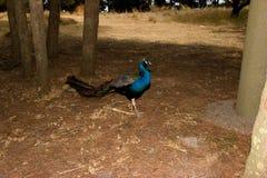 Peacock Rhodos Greece royalty free stock photos