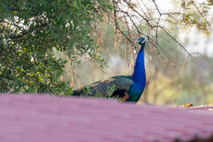 Peacock on the roof of a farm house. Royalty Free Stock Images