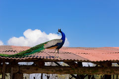 Peacock on the roof Stock Image