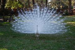 Peacock`s Delight. Beautiful solid white peacock in a dazziling mating display Royalty Free Stock Photo