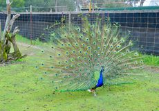 Peacock's Elevated Tail Feathers Royalty Free Stock Photo