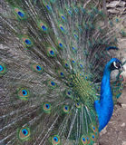 Peacock's exibition Royalty Free Stock Photography