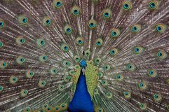 Peacock´s fan. Blue peacock, spreading it´s tail Royalty Free Stock Photography