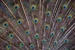 Peacock´s fan. Spreaded tail feathers of a blue peacock Royalty Free Stock Photos