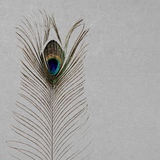 Peacock`s feather Stock Images