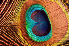 The Peacock's Feather. Iridescent and  fantastic Feather of the Peacock Royalty Free Stock Photos