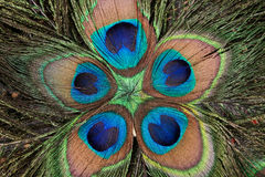 Peacock's feathers Royalty Free Stock Images
