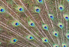 Peacock's feathers Royalty Free Stock Photo