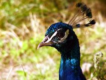 Peacock's head royalty free stock image