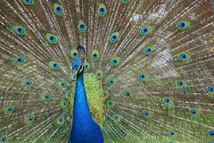 Peacock;s head on feathers background Stock Photography