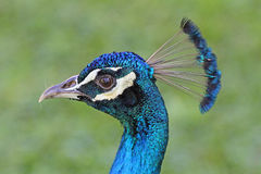Peacock's head in left profile Royalty Free Stock Photos