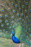 Peacock's plume. Brightly-colored peacock showing his plumage Stock Photography