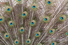 Peacock's tail Royalty Free Stock Images