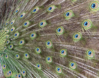 Peacock's tail Royalty Free Stock Photos
