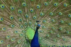 Peacock S Tail Royalty Free Stock Photography