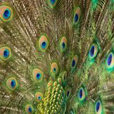 Peacock's tail Stock Photography