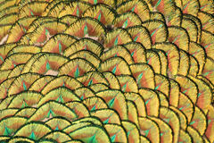 Peacock's tail macro Stock Images