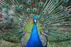 Peacock's tail splendor Stock Image